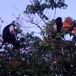 Resident Colobus Monkeys
