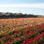 Carlsbad Flower Fields Photo