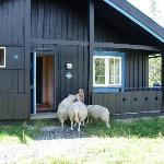 Our cabin and friendly sheep