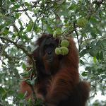 wild male orang-utan 2