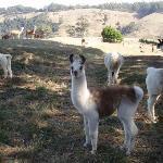 Llamas of Alyeska