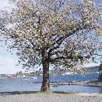 Cherry tree in blossom in May on Bygdøy