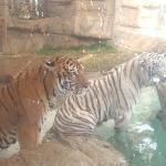 ocean world tiger pool