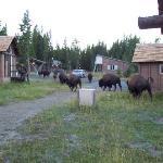Bisons autour des cabanes