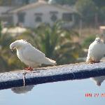White doves at the pool.