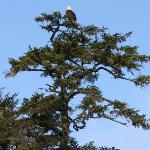 Bald eagle - picture captured on Fank's Island -walking distance from the resort