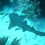 Nurse Shark@Barrier Reef