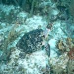 Friendly Turtle on the reef