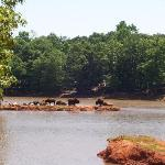 Water buffalo at the Pine Mt Park