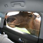 Elk have very bad breath...