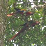 Scarlet Macaws we photographed during one of our nature walks