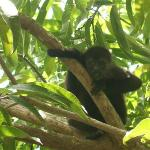 Howler Monkey we photographed during one of our nature walks