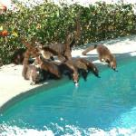 Thirsty coatis by the pool