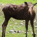 Moose - BC Wildlife Park