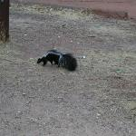 Our first skunk!! - lots of wildlife at Zion