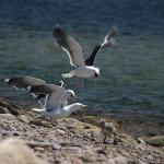 Gulls squabble over a chick at the harbour close to the resort