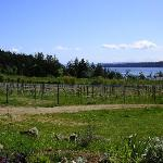 Saturna Vineyard