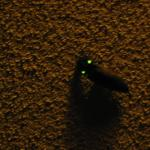Beetle with self generating lights on wings