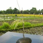 View over paddy fields from restaurant