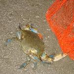 Blue Crab found at nearby beach