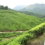 The lush green tea garden to soothen your eyes