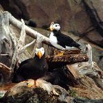 Puffins at Sea Life Center