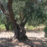 Olive groves around Stars Studios