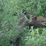 Moose on Stampede Road