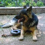 Ridley - a HUGE German Shepherd hanging out in the garden area.