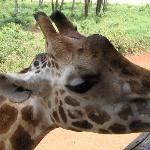 Giraffes come very close to visitors