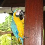 Macaw resident