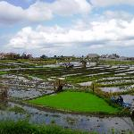 Rice Paddies in Umalas Village.