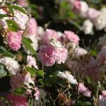 Abalone Inn - Climbing Roses