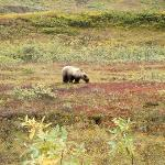 Brown bear grazing on the beautiful tundra. He came within 100yards of our Wilderness Tour bus