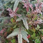 Frosty Foliage