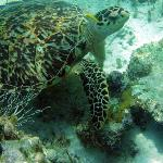 A huge hawksbill turtle at the reef in front of ABH
