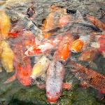 Koi fish during feeding