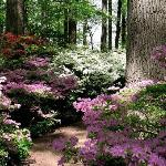 Azalea woods at Winterthur
