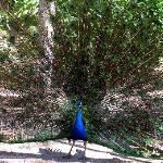 Male peacock in National Gardens