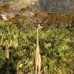 Wooden Giraffe in the Garden with View of the 12 Apostles
