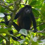 Big male howler monkey.  Seen a mile or so from the Look Out Inn.