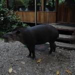 A tapir (called Vanessa) visits the lodge