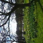 South gardens daffodils