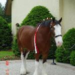 budweiser horse2