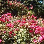 Beautiful roses everywhere!