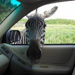 Did I ever tel you about the time we almost adopted a zebra?