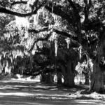 These majestic oaks line the path from the lake to the old sugar cane plantation.