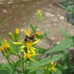 Honeybee on wildflower