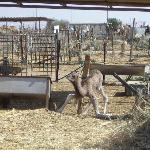 Baby Camel, Camel Market, Al Ain