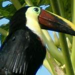 Toucan that lives on property